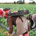 عاملات الفرولة